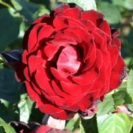 Роза полуплетистая 'Dublin Bay'