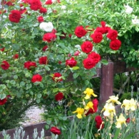 Роза полуплетистая Dublin Bay'