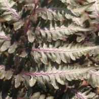 Athyrium-niponicum-metallicum