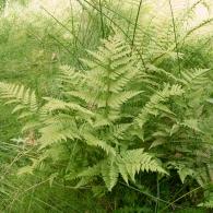 Dryopteris-carthusiana