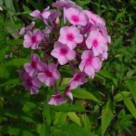 Phlox-paniculata