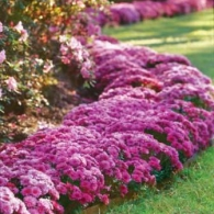 _pink-fall-flowers
