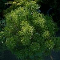 Pinus-mugo-Mughus