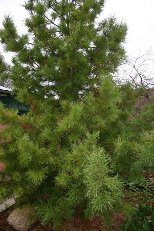 Корейский кедр: Виды сосен для сада средней полосы, обзор с фото