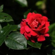 'Scarlet'