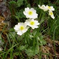 Ranunculus-alpestris