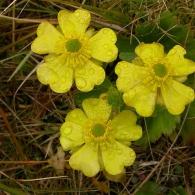 Ranunculus-insignis