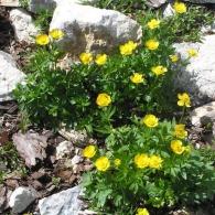 Ranunculus-montanus