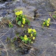 Ranunculus-sulphureus
