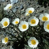 Ranunculus-pyrenaeus