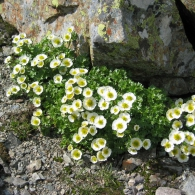 Ranunculus-glacialis