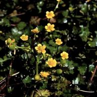 Ranunculus-gmelinii