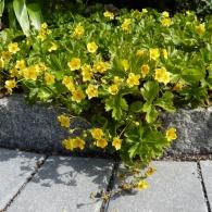 Waldsteinia-ternata