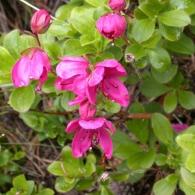 rhododendron_camtschaticum
