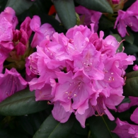 rhododendron_roseum