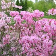 rhododendron_vaseyi