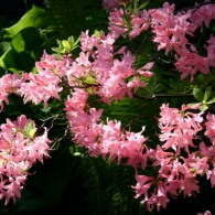 rhododendron_kosterianum