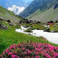 Цветущий рододендрон в горах