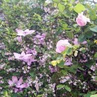 Роза и клематис - идеальная пара!