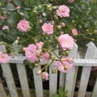 Розы в палисаднике