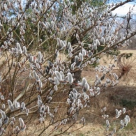 Salix-chaenomeloides