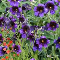 """Сальпиглоссис """"Kew blue"""""""
