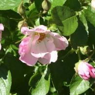 Роза морщинистая «Абельзиедс»