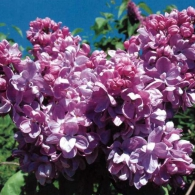 Syringa vulgaris_photo