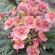 Вербаскум гибридный 'Flower of Scotland'