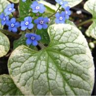 Brunnera-macrophylla-Kings-Ransom