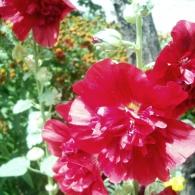 Шток-роза (мальва) махровая
