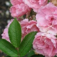 4690806563_7121e9c37d_Rosa pink grootendorst