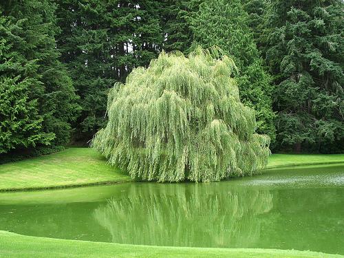 Виды ивы растут по всему бывшему Союзу.  Собирают кору ивы - Cortex Salicis.