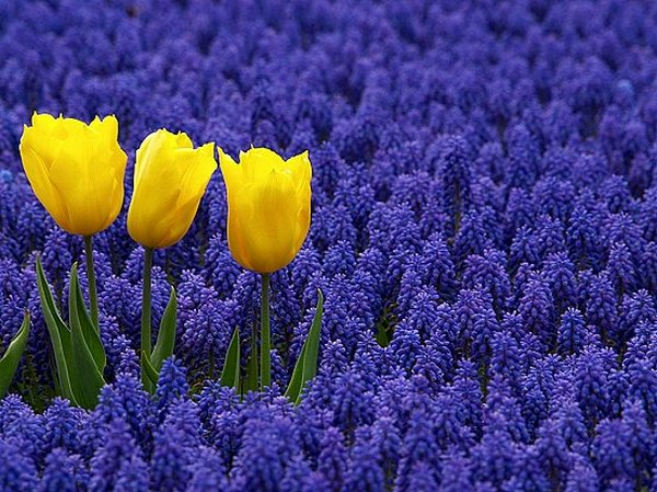 мускари и тюльпаны_фото