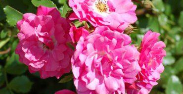 розы в морозы