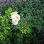 обрезка роз перед укрытием