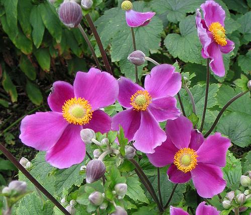 Японские анемоны (Anemone japonica) - высокие растения, достигающие 1...