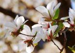 магнолия цветы фото