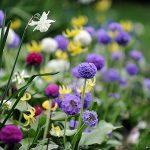 садовые примулы_фото