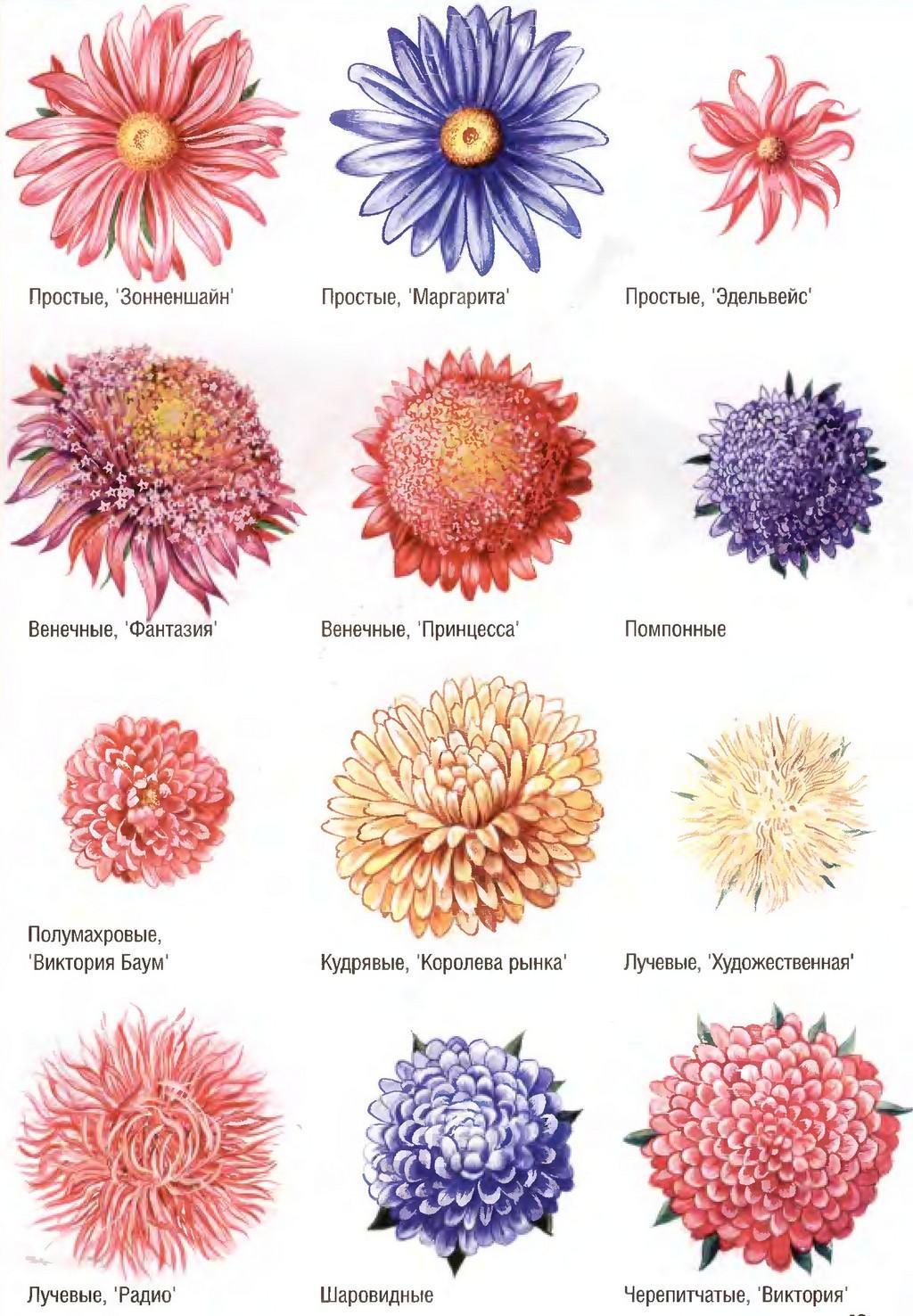 Краткое описание:астры - цветы однолетние.  Куст прямостоячий, бывает различной формы (широкий, овальный...