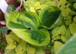 цветок хоста_фото
