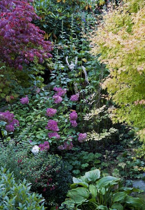 Гортензия метельчатая в японском саду