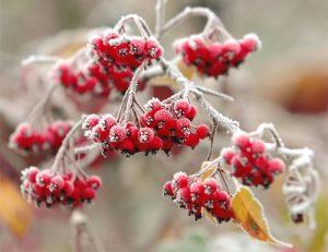 http://sazhaemsad.ru/wp-content/uploads/2011/10/frostonberries-300x231.jpg