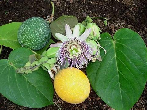 PassifloraLigularis