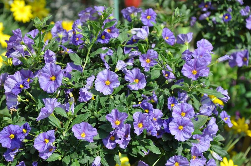 Растения семейства пасленовых  характеристики признаки и