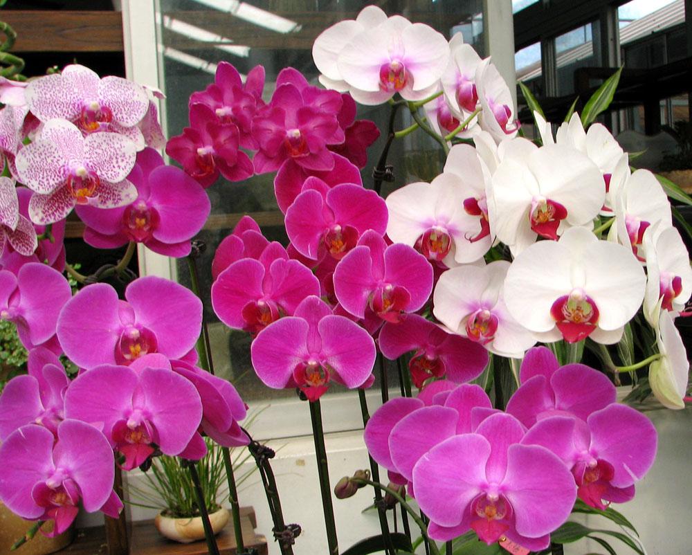 виды орхидей  и названия