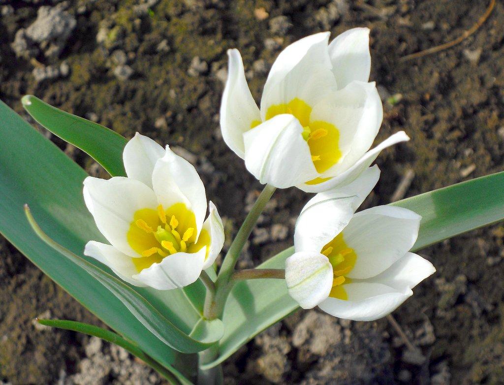 Как хранить тюльпаны после выкопки
