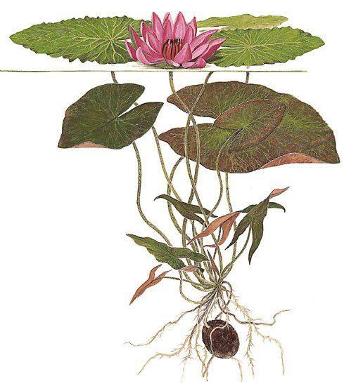 Как вырастить лилию из семян из китая