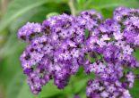 цветы гелиотропа фото