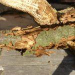 следы деятельности жука-короеда